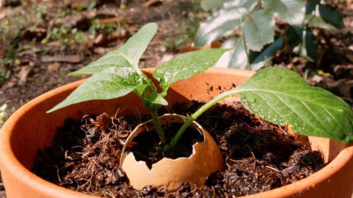 выращивать рассаду